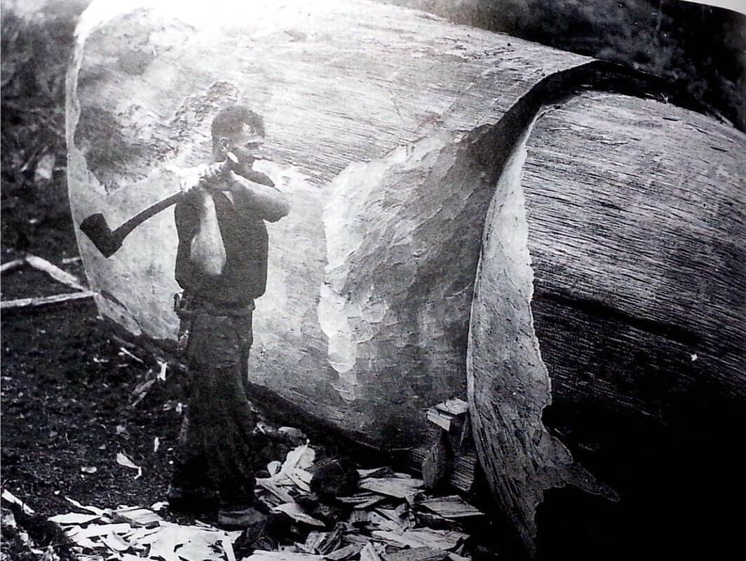 Image of a man copping a large Kauri tree, from the Bullswool Farm Heritage Kauri Museum