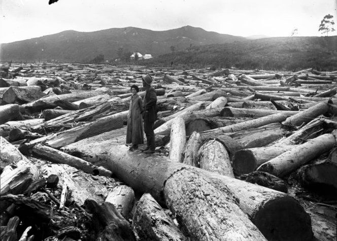 Image of logging, from the Bullswool Farm Heritage Kauri Museum